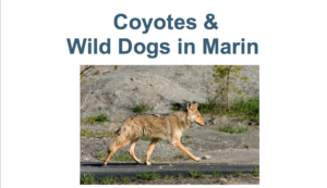 Fairfax, CA: Coyotes and Wild Dogs in Marin @ Fairfax Library | Fairfax | California | United States