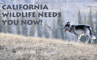 California Wildlife Needs You Now!
