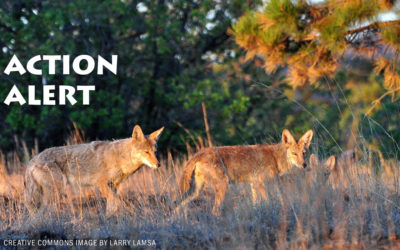 Speak Out Against Coyote Trapping in Arcadia, CA!
