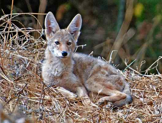 Berkeley workshop to teach about coyotes and how to live with them