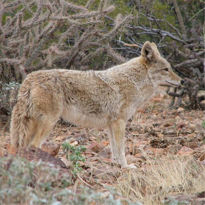 Co-Existing with Carnivores: A Conversation with Project Coyote's Camilla Fox