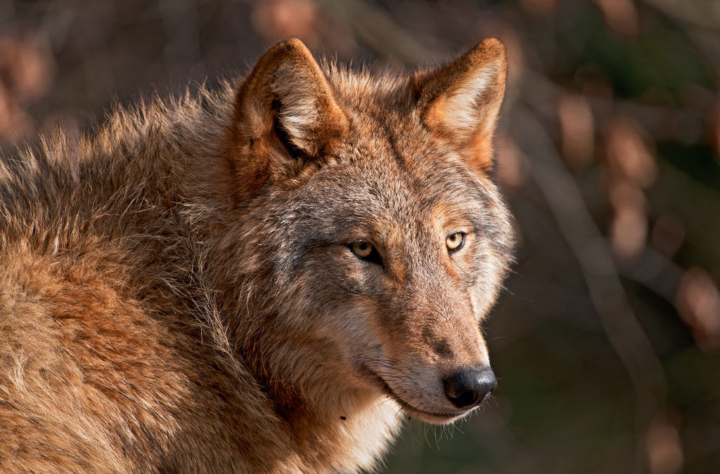 Can red wolves be saved again?