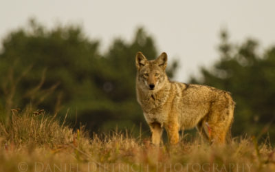 Mayor Tim Keller Signs Bill Condemning Coyote-Killing Contests